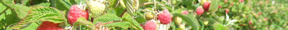 View of the rows of Raspberries