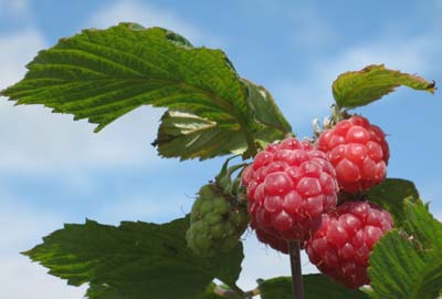 Raspberries ripe for picking